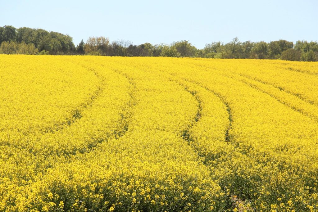 field-of-rapeseeds-1380239_1920